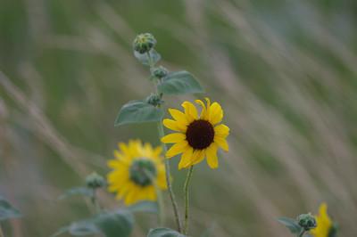 Sunflower in the Wild