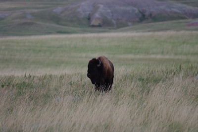 Oncoming Bison