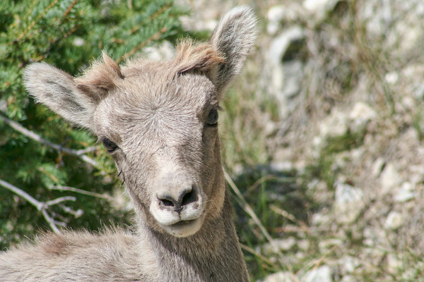 Bighorn Lamb with quills
