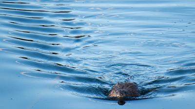 Rodent Swim