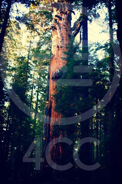 Sequoia Stock