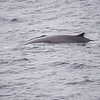 Blue Whale at Sea 6:25 012