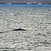 Blue Whale at Sea 6:25 011