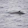 Blue Whale at Sea 6:25 013