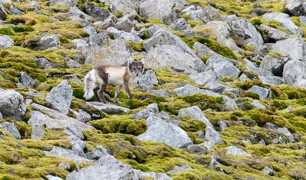 Camp Millar and Arctic Fox 6/25