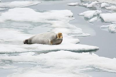 Polar Bear 2 and Seal 6/23