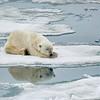 Polar Bear 5 Resting 6:23 015