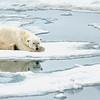 Polar Bear 5 Resting 6:23 013