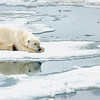 Polar Bear 5 Resting 6:23 014