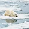 Polar Bear 5 Resting 6:23 016