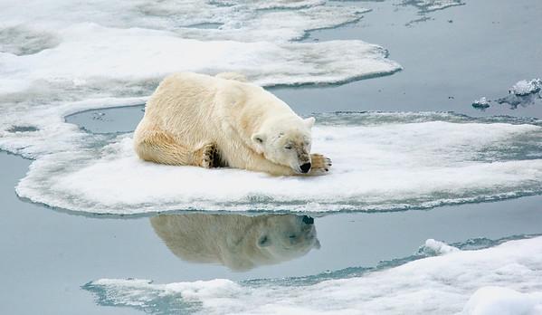 Polar Bear 5 Resting 6/23