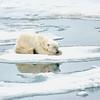 Polar Bear 5 Resting 6:23 009