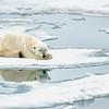 Polar Bear 5 Resting 6:23 011