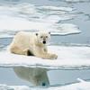 Polar Bear 5 Resting 6:23 020
