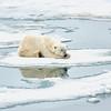 Polar Bear 5 Resting 6:23 008