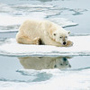Polar Bear 5 Resting 6:23 012
