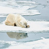 Polar Bear 5 Resting 6:23 018