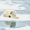 Polar Bear 5 Resting 6:23 019