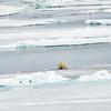 Polar Bear and Misc 6:27 016