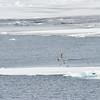 Polar Bear and Misc 6:27 010