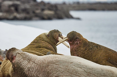 Walrus Outing 6/24