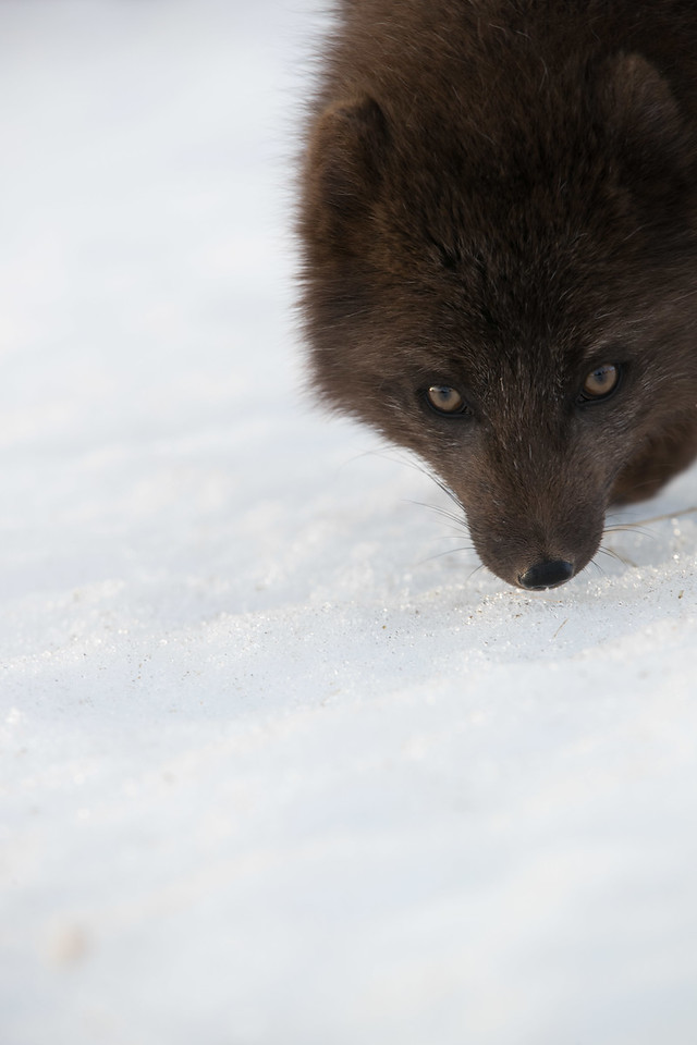 """The Arctic fox is often white in winter, but in Iceland it's the  'blue morph"""" that predominates."""