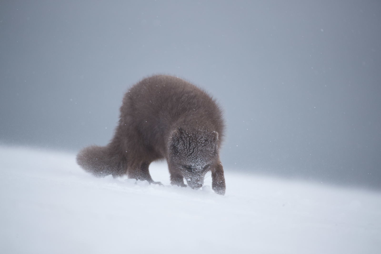 Finding a meal can mean digging trhrough the snow in pursuit of something that smells interesting