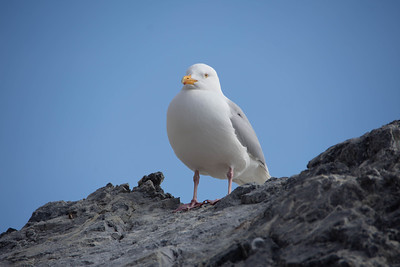 Arctic Gull Bravely Guarding its Nest