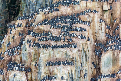 "BIRDS ON A LEDGE (4"" wide) TO AVOID PREDATORS.  Spitsbergen, Arctic Ocean, north of Norway."