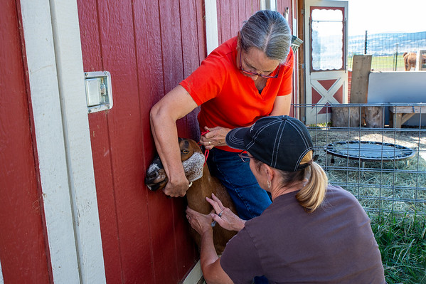 Kate Johnson drawing blood from one of her goats, for testing, on August 25, 2019.