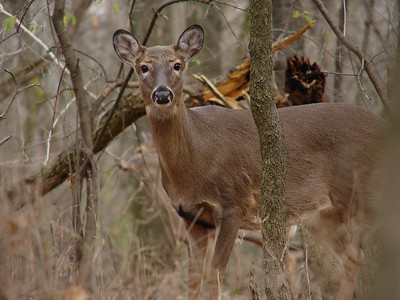 Deer closeup - Channahon, IL