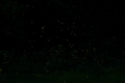 42 photos of fireflies, all stitched together...