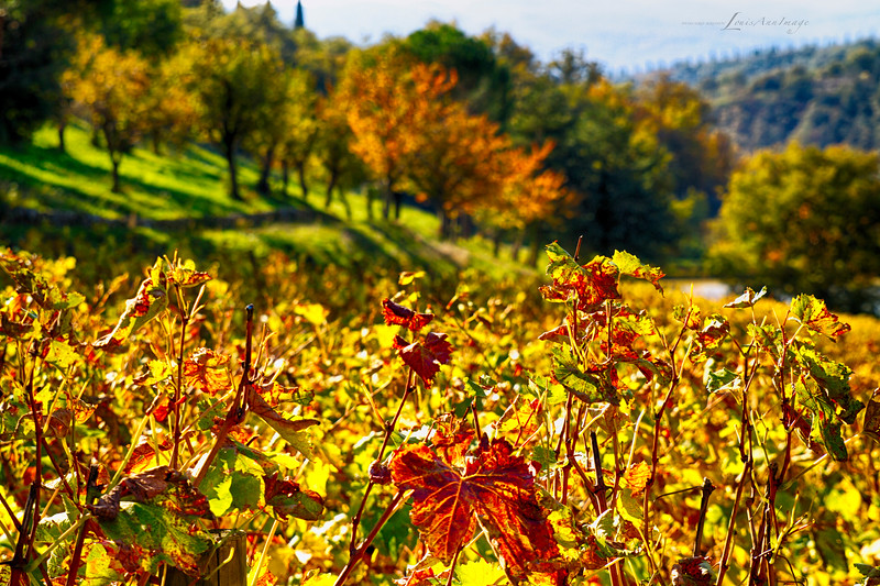 Fall in the Vines...