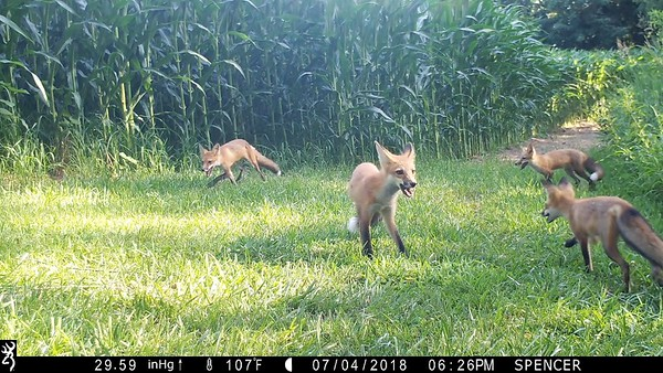 Four Red Foxes