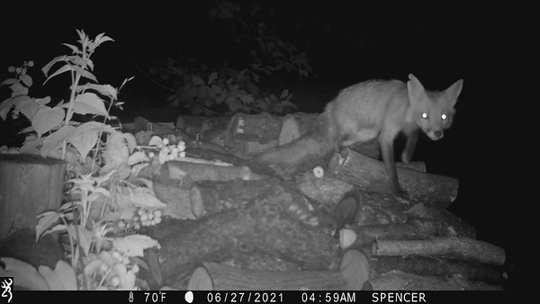 Red Fox on wood pile