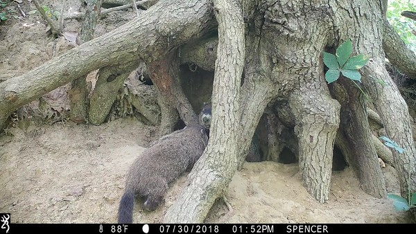Groundhog parent and baby playing together