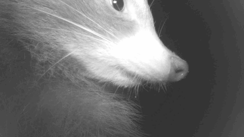 Cute closeup of a raccoon