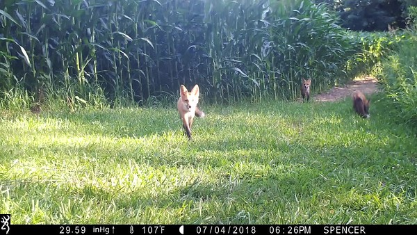Four Red Foxes together on one video clip