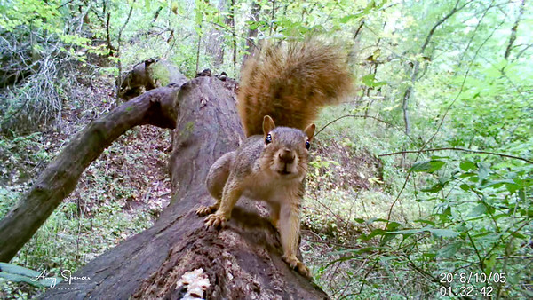 Squirrel checking out trail camera