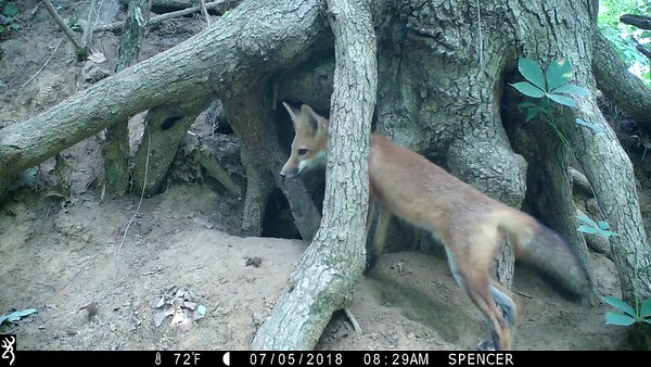 Video clips of Red Fox pups playing
