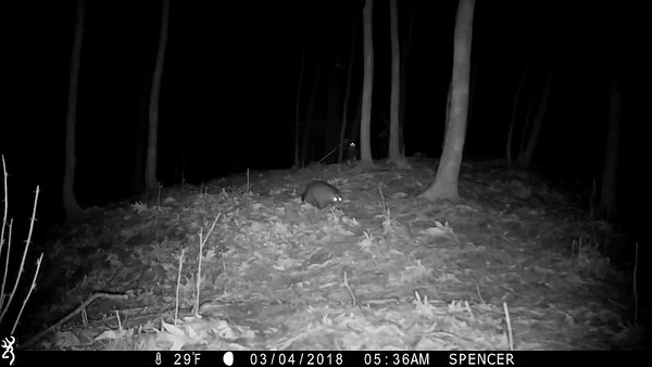 A Wild American Mink