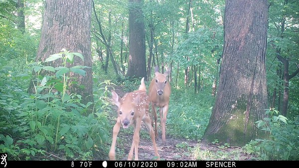 New baby white tailed deer with mother
