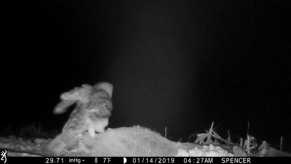 Barred Owl on a road-kill deer