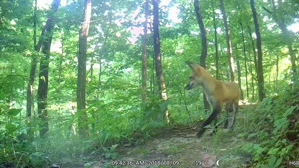 Curious fox pup