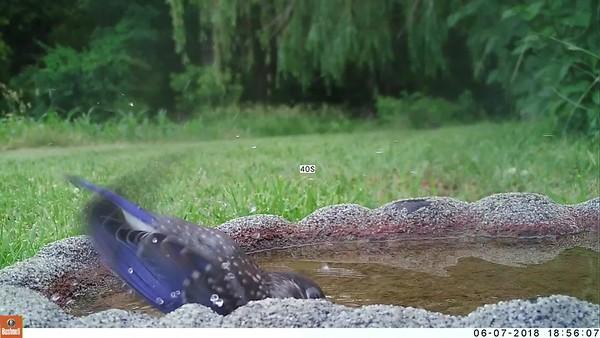Baby Bluebird in birdbath