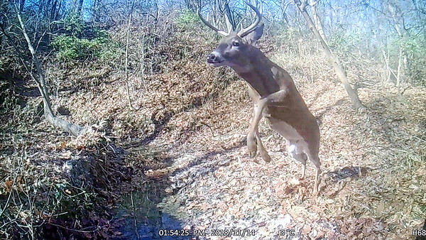 Whitetailed deer jumping over creek