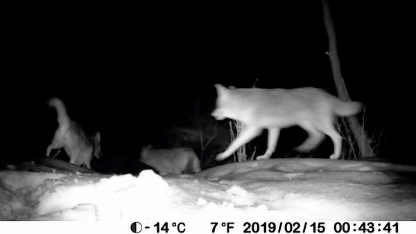 Nice capture of 3 coyotes!
