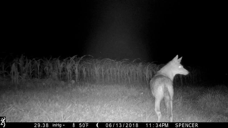 Screen shot of Coyote with broken back leg