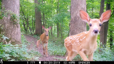 Mother white-tailed deer with twin fawns