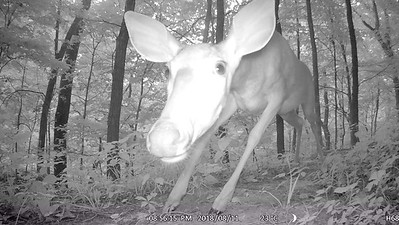This camera is mounted almost on the ground, and this deer is crouching down to get a look at it. Video clip--->